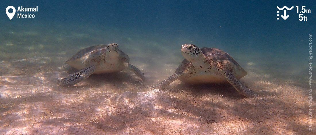 Snorkeling with green sea turtles at Akumal Bay, Mexico