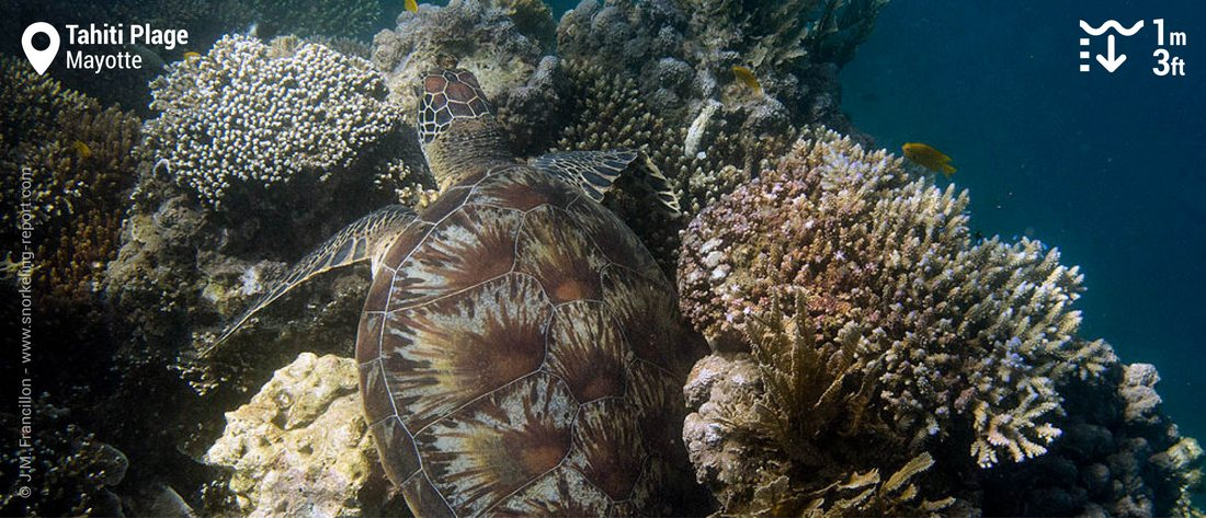 Snorkeling with green sea turtles at Tahiti Plage, Mayotte