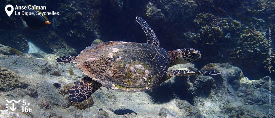 Snorkeling with hawksbill sea turtles at Anse Caiman, Seychelles