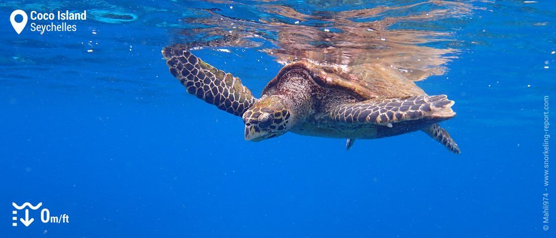 Snorkeling with hawksbill sea turtle at Coco Island, Seychelles