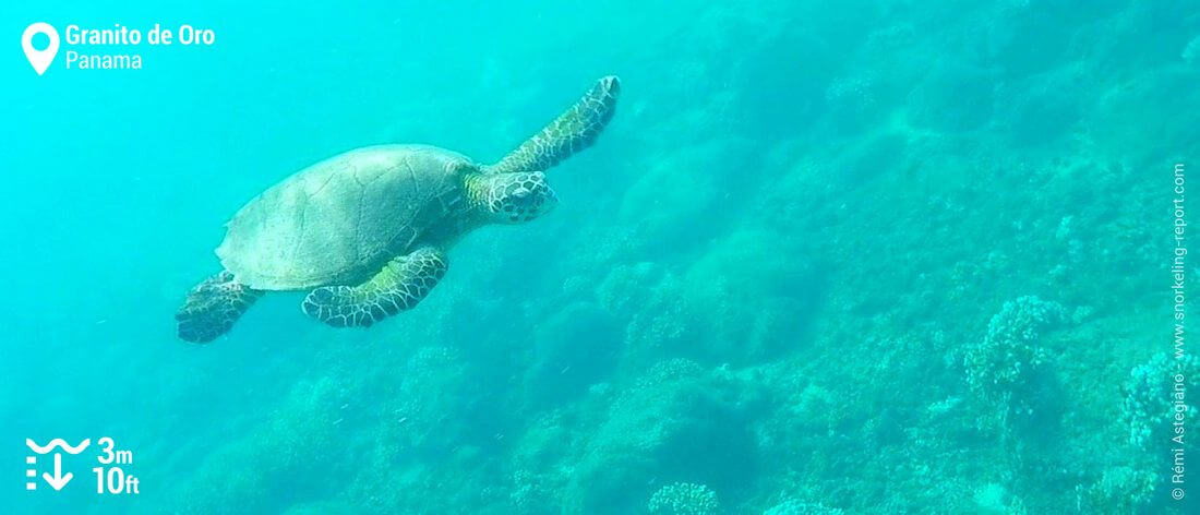 Snorkeling with hawksbill sea turtle at Granito de Oro, Coiba National Park