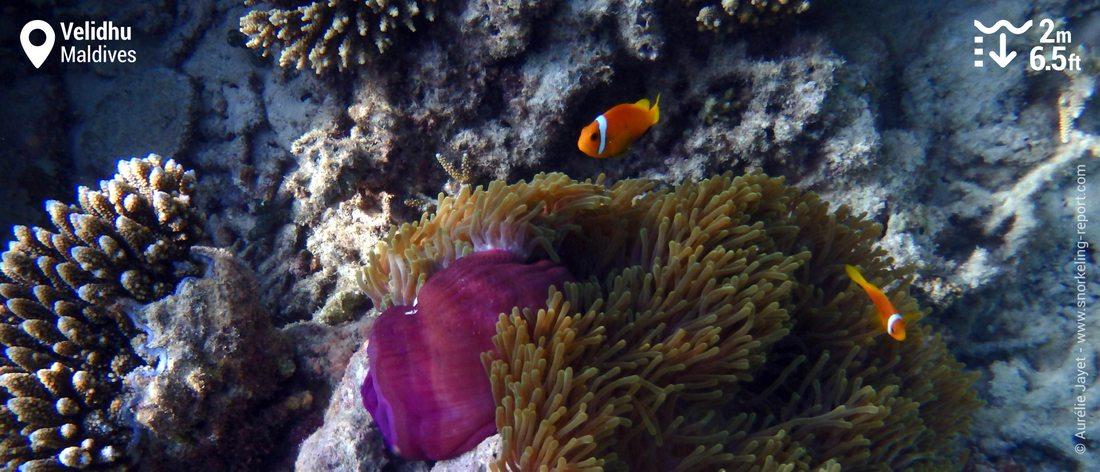 Maldives clownfish in Velidhu island
