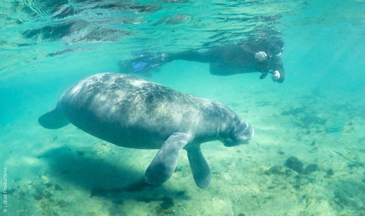 Snorkeling with manatees in Florida