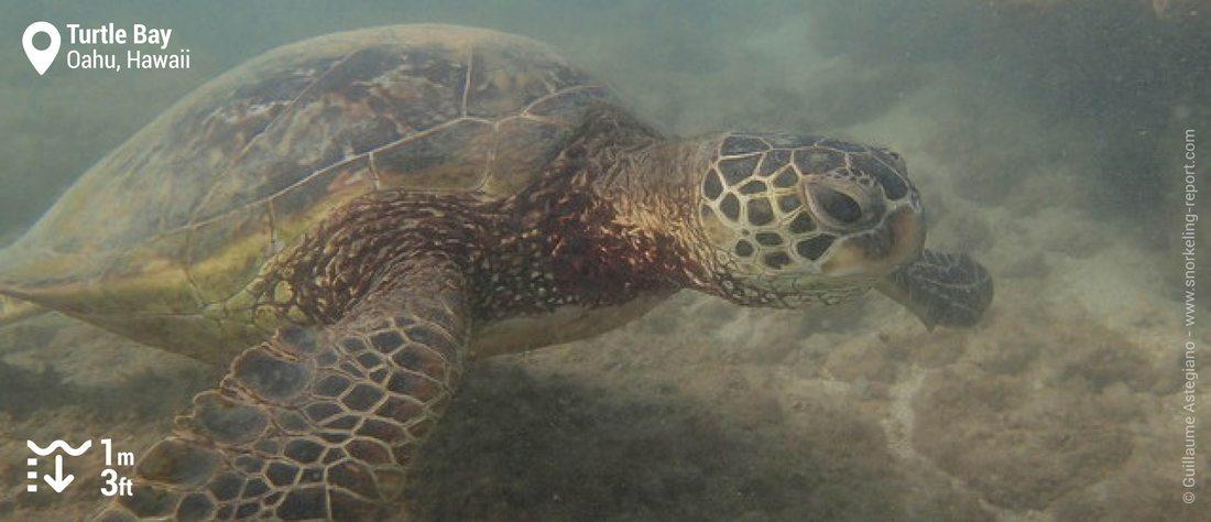 Snorkeling with Hawaiian green sea turtle at Turtle Bay Resort, Oahu