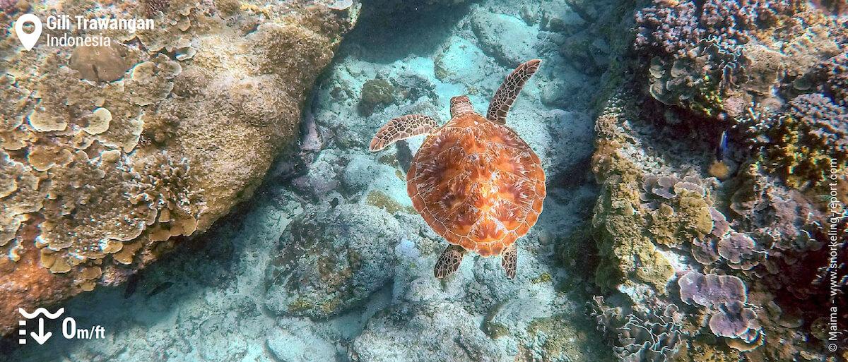 Snorkeling with a green sea turtle over Gili Trawangan reef