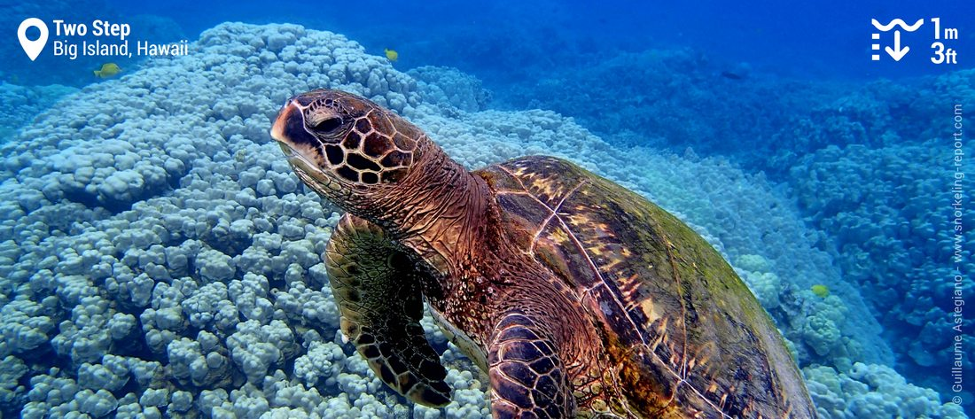 Snorkleing with Hawaiian sea turtle at Two Step