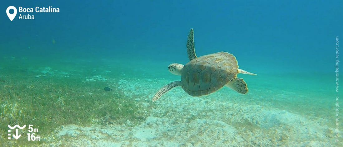 Snorkeling with sea turtles at Boca Catalina, Aruba