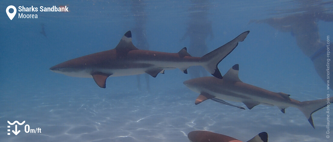 Snorkeling with blacktip reef sharks at Sharks Sandbank, Moorea