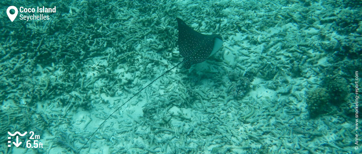 Spotted eagle ray in Coco Island