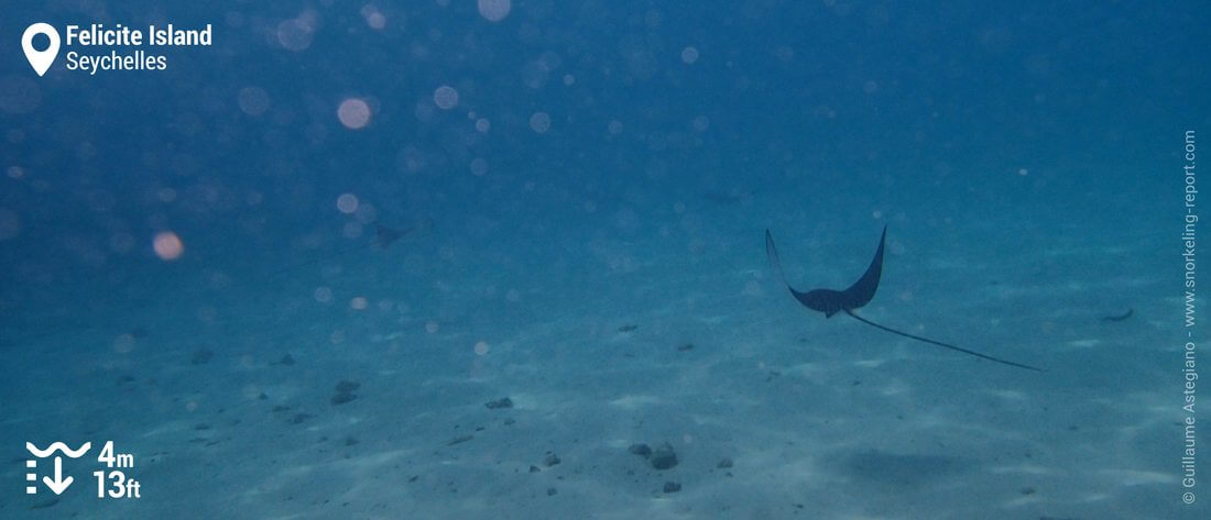 Snorkeling with spotted eagle ray at Anse Sévère, Seychelles