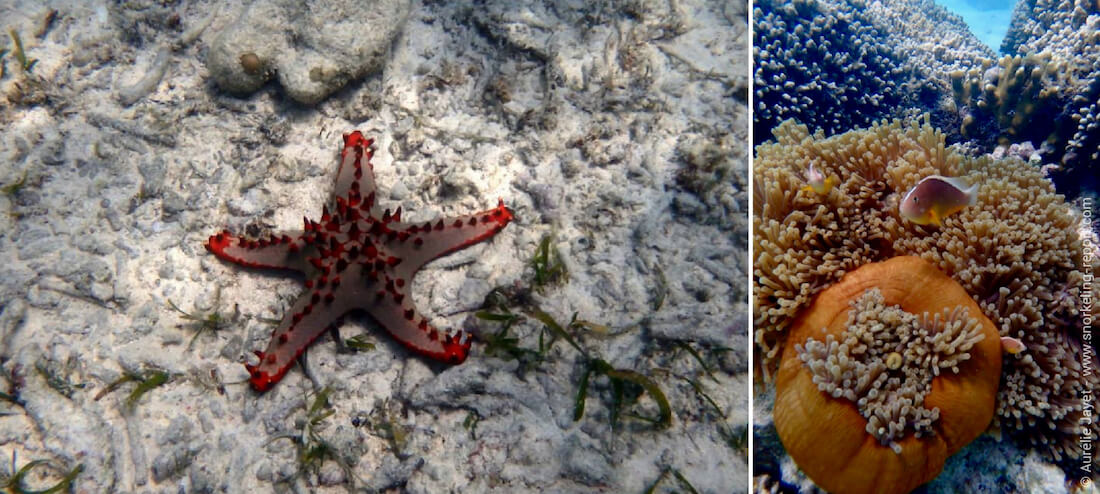 Red knobbed starfish and clownfish in sea anemone in Jambiani