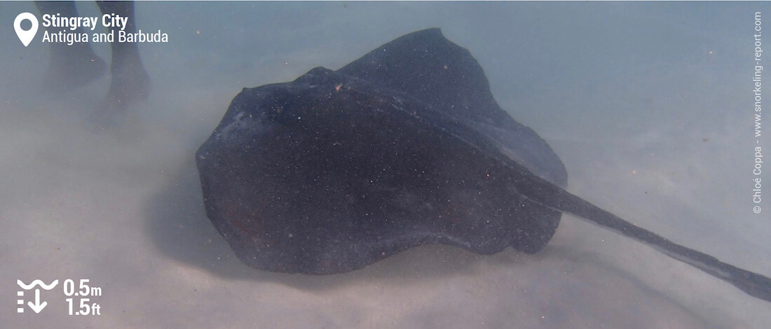 Snorkeling with stingray at Stingray City, Antigua