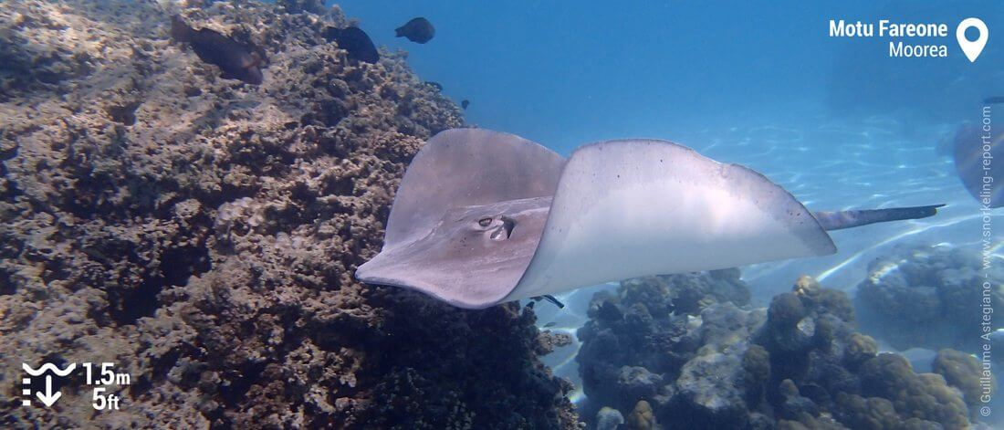 Snorkeling with stingray at Motu Fareone, Moorea's lagoon
