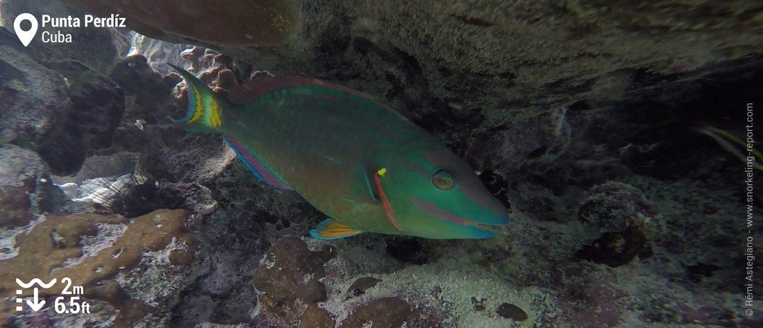 Stoplight parrotfish at Punta Perdiz, Cuba