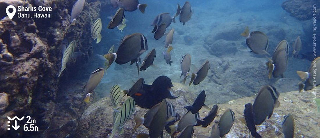 Surgeonfish at Sharks Cove, Oahu