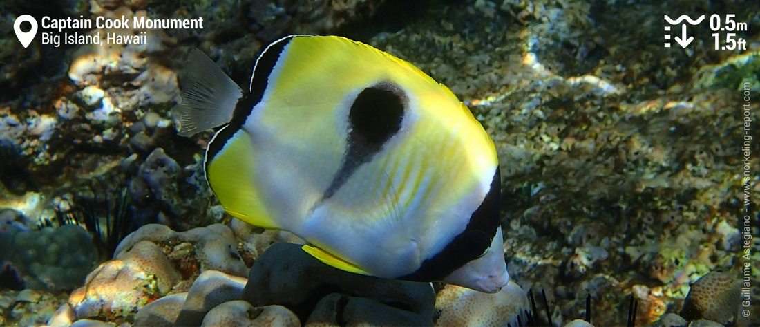 Teardrop butterflyfish at Captain Cook Monument