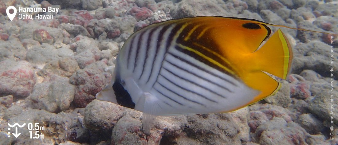 Threadfin butterflyfish at Hanauma Bay, Oahu