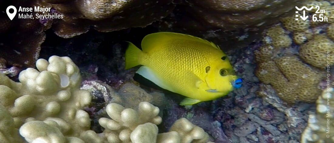 Snorkeling with threespot angelfish at Anse Major, Seychelles