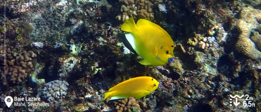 Snorkeling with threespot angelfish at Baie Lazare, Seychelles