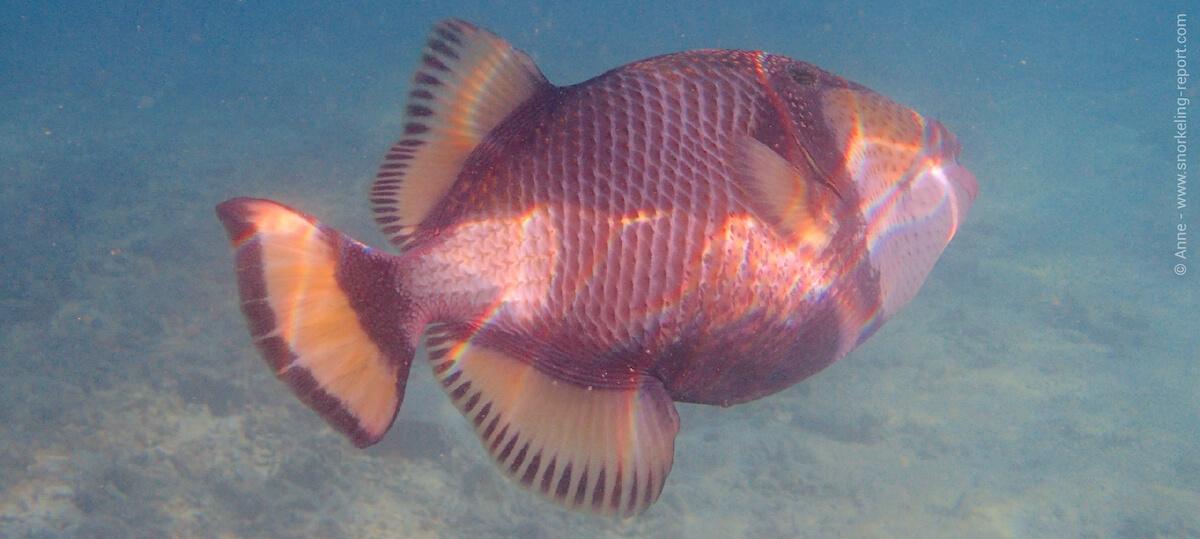 Titan triggerfish in Malaysia