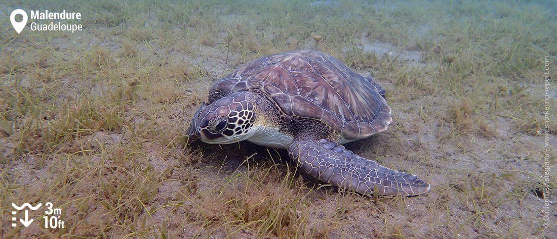Snorkeling avec les tortues vertes de Malendure, Guadeloupe