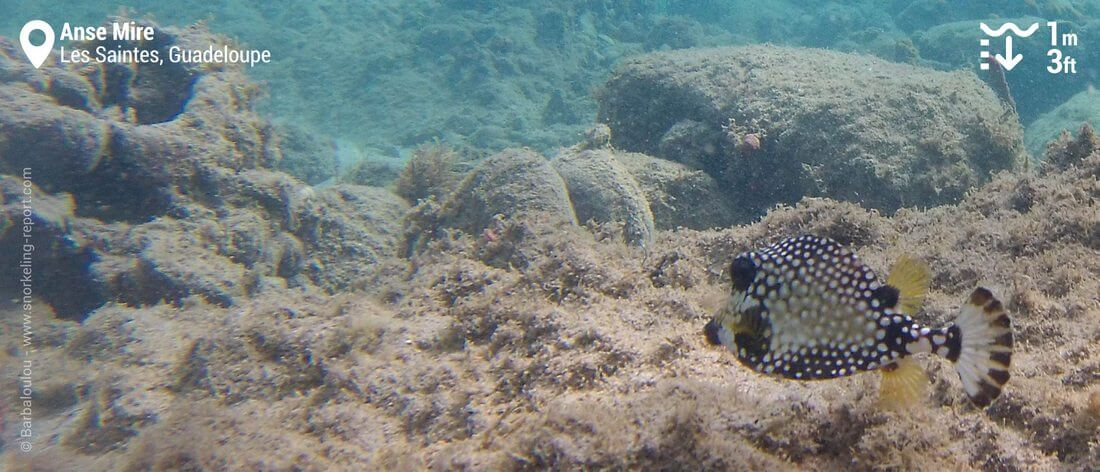 Smooth trunkfish at Anse Mire, Guadeloupe snorkeling