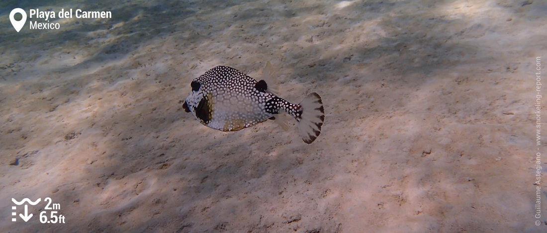 Smooth trunkfish at Playa del Carmen