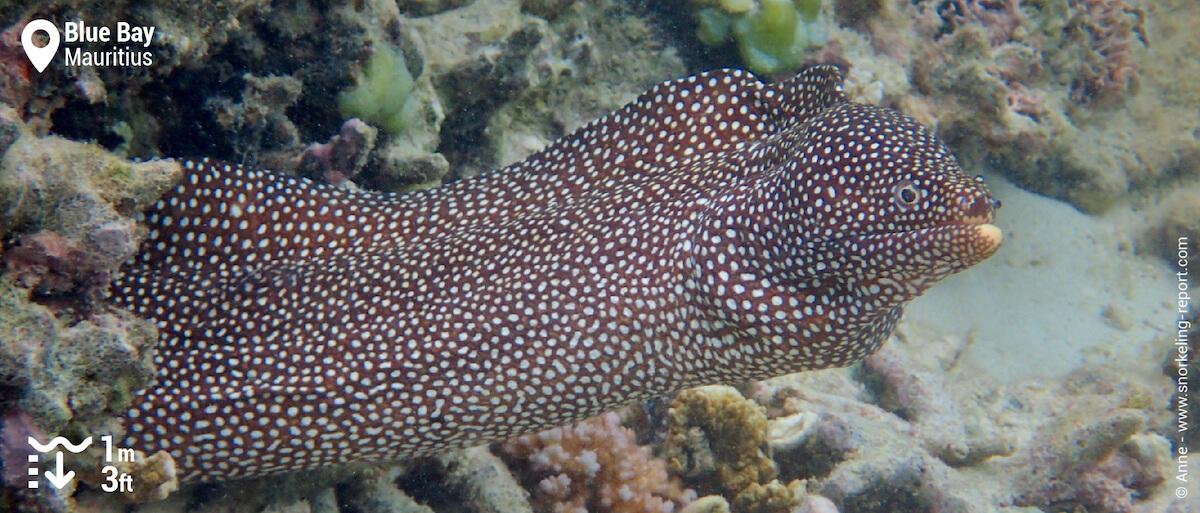 Turkey moray eel in Blue Ba