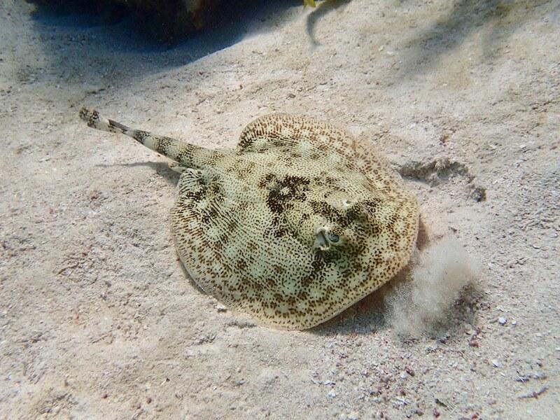 urobatis-jamaicensis