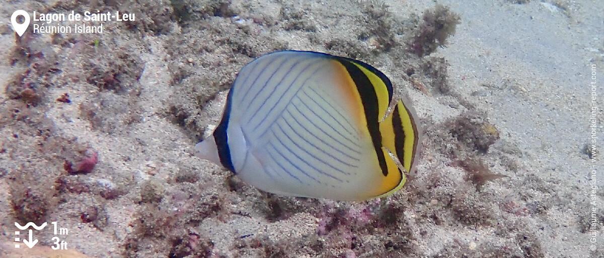 Vagabond butterflyfish in Saint-Leu
