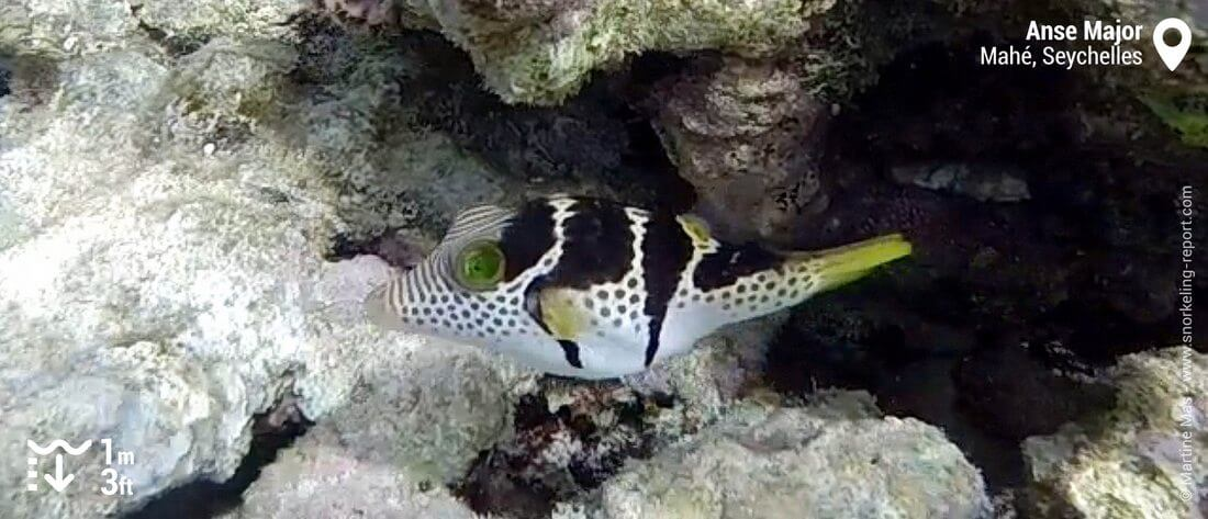 Valentin's sharpnose puffer at Anse Major, Seychelles