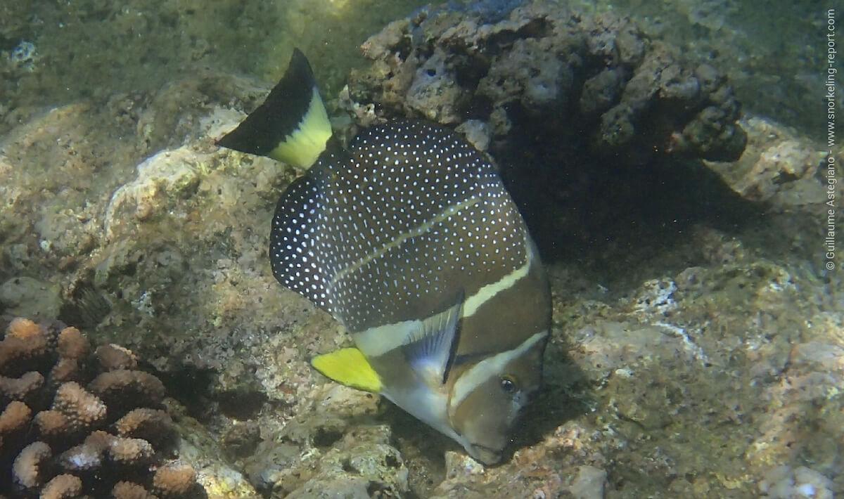 Whitespotted surgeonfish