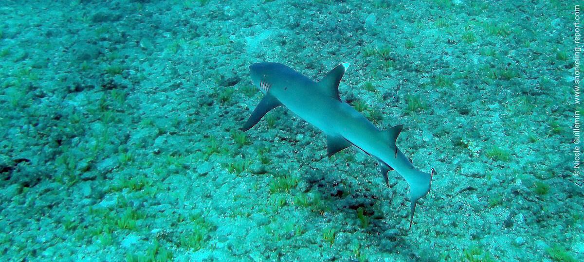 Whitetip reef shark in Panama