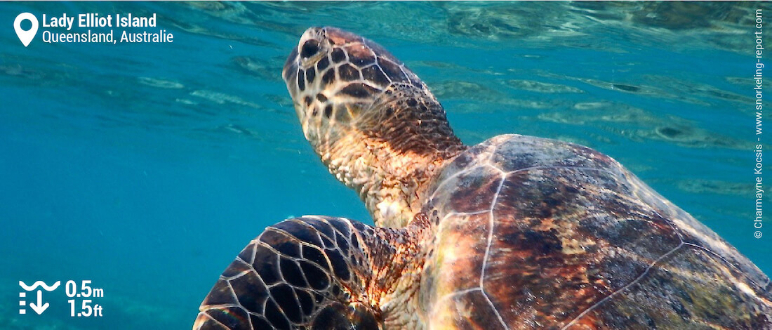 Snorkeling avec une tortue dans le lagon de Lady Elliot Island