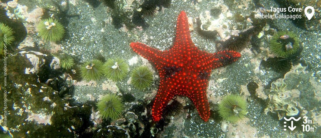 Cushion sea star and urchin at Tagus Cove, Galapagos