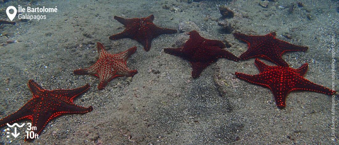 Etoiles de mer coussin à l'île Bartolomé