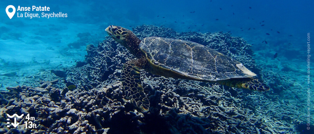 Hawksbill sea turtle at Anse Patate