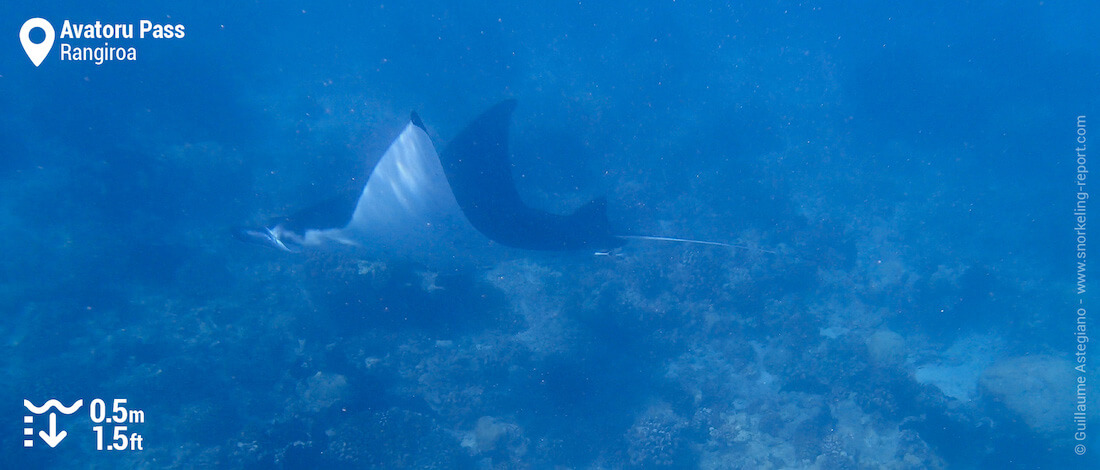 Manta ray in the Avatoru Pass