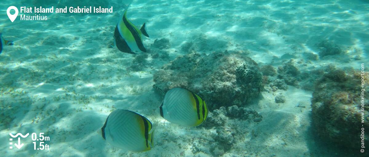 Moorish Idol and butterflyfish