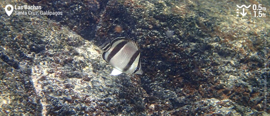 Poisson-papillon à trois bandes à Las Bachas, Galapagos