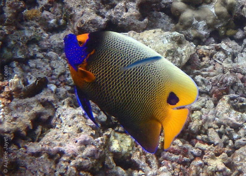 Fish identification guide | Snorkeling Report