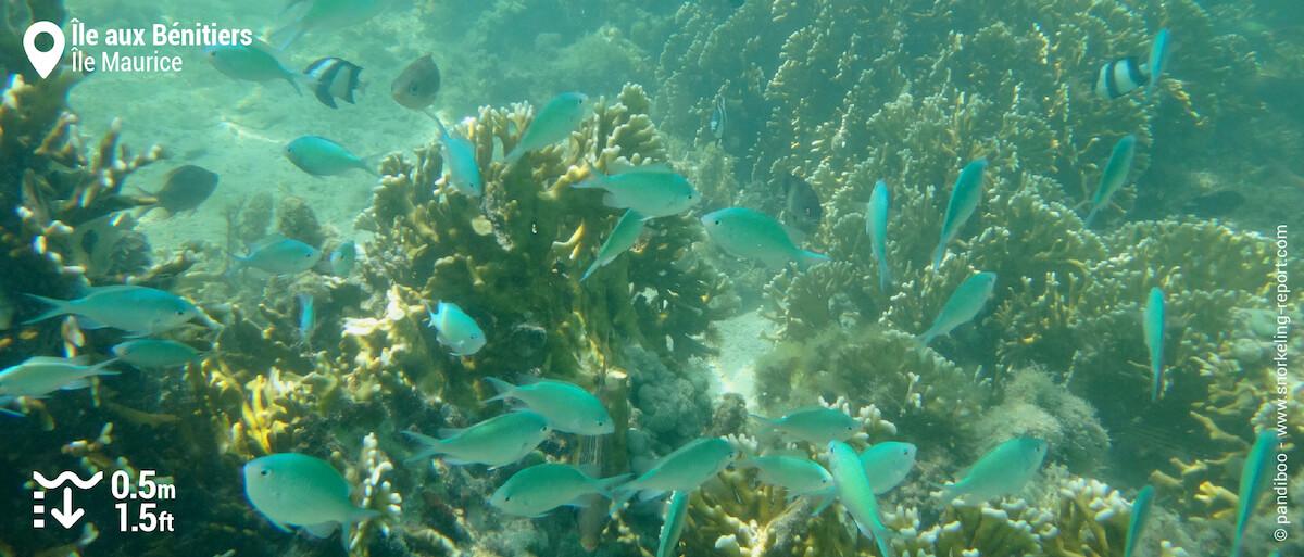 Récif corallien et chromis bleu-vert