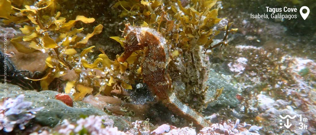 Pacific seahorse at Tagus Cove, Galapagos