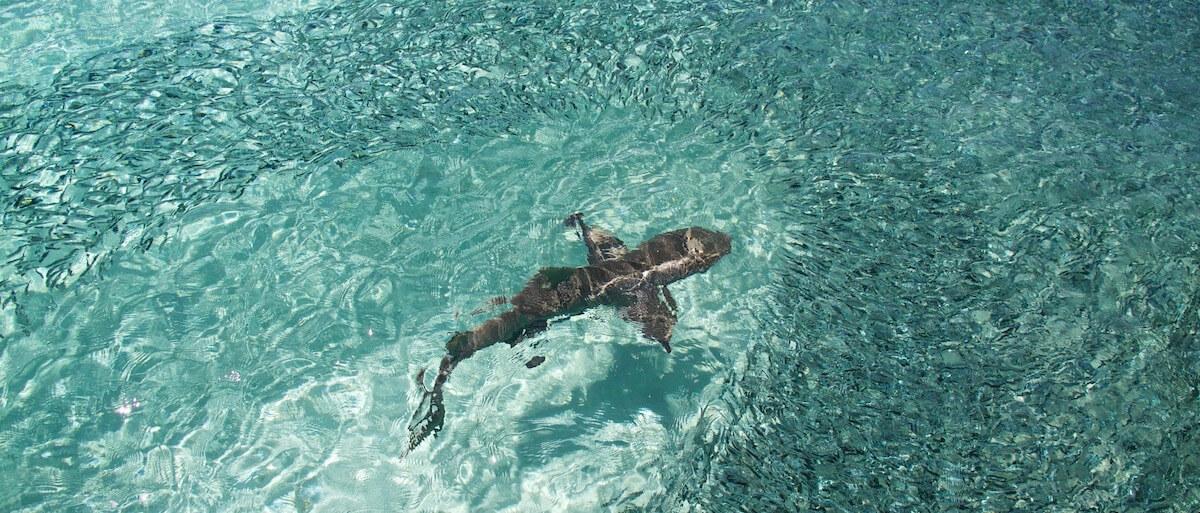 Shark at Heron Island