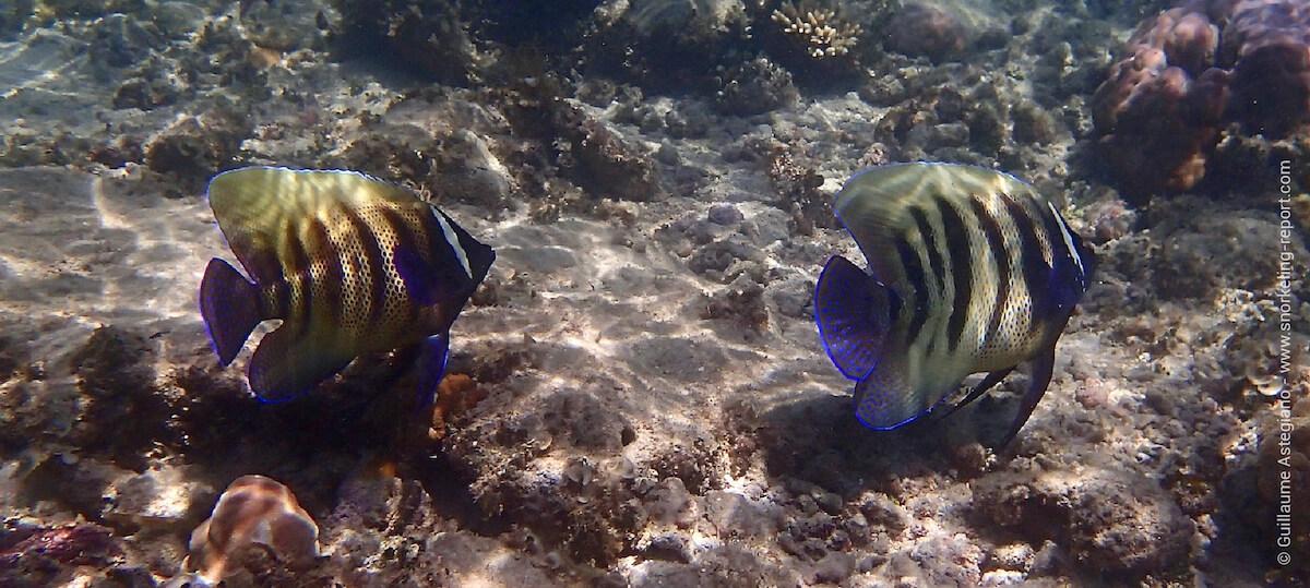 Sixbar angelfish at Green Island