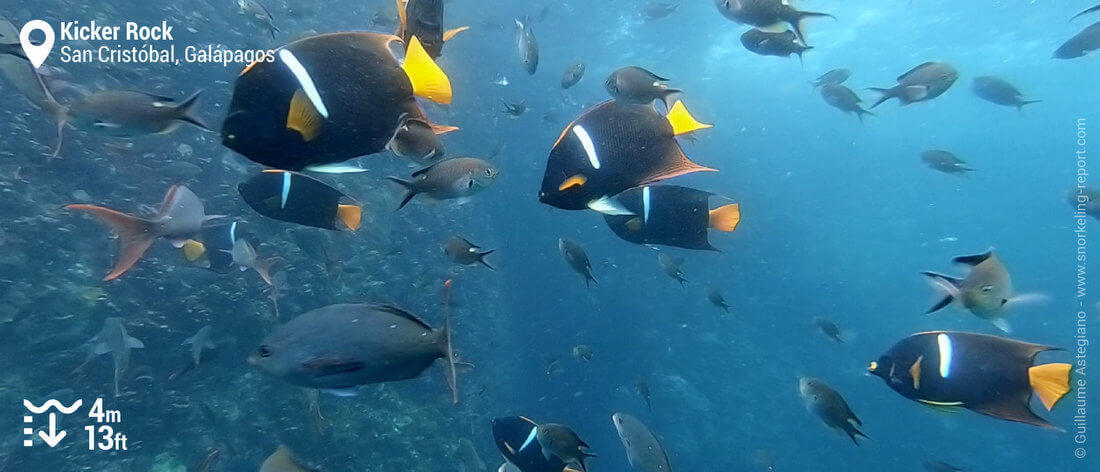 Angelfish at Kicker Rock, Galapagos