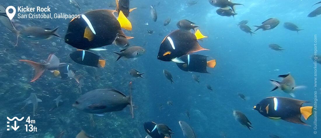 Angelfish at Kicker Rock, Galapagos