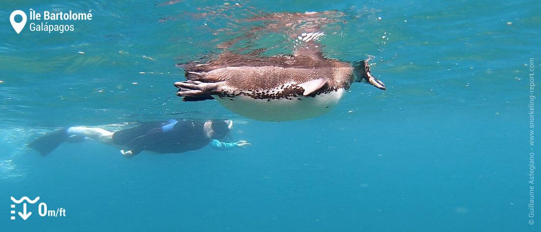 Snorkeling avec des manchots des Galapagos à l'île Bartolomé