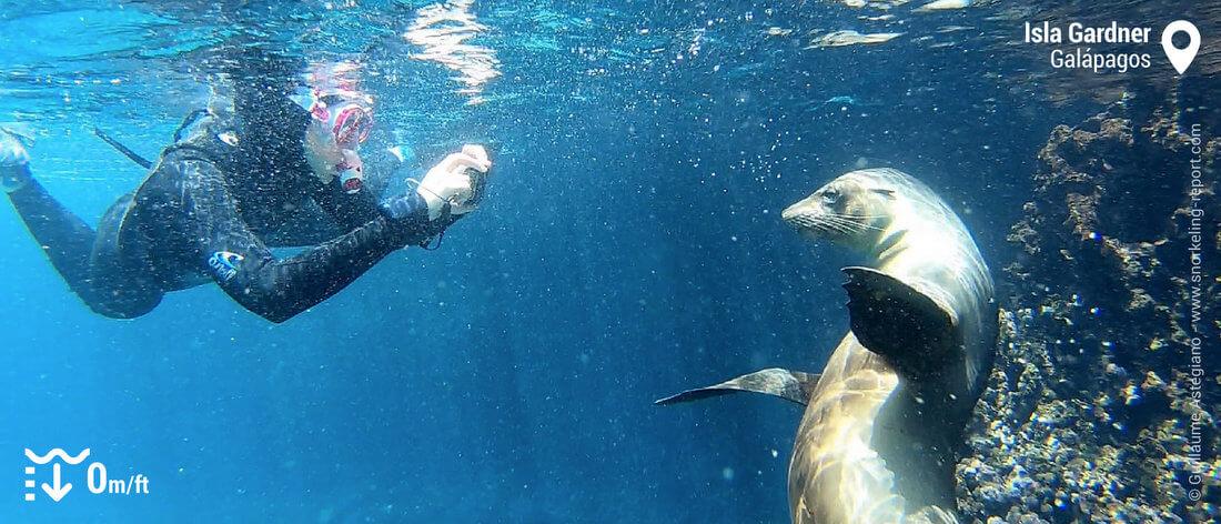 Snorkeling avec des otaries des Galapagos à Isla Gardner