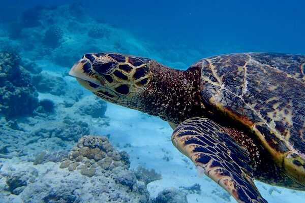 snorkeling-hawksbill